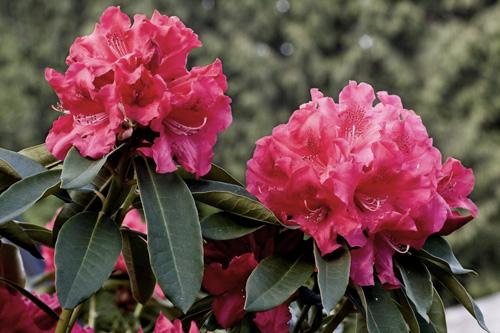 Bild von rosa Blumen mit geänderter Farbsättigung