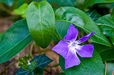 Flor morada con fondo de hojas verdes